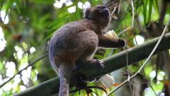 ENDANGERED Greater Bamboo Lemur feeding in the wilds of Madagascar Stock Footage