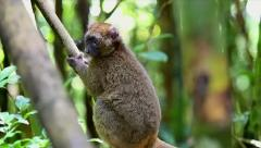 ENDANGERED Greater Bamboo Lemur in the wilds of Madagascar Stock Footage