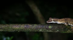 An endangered Guenther's Leaf-tail gecko in Madagascar. Stock Footage