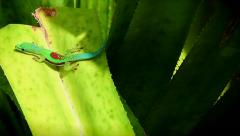Lined Day Gecko (Phelsuma lineata) basks in the sun in Madagascar. Stock Footage
