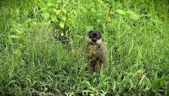 Endangered Mongoose Lemur peers out from behind vegetation in Madagascar. Stock Footage