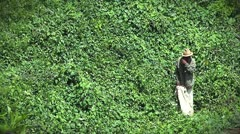 An old man harvests a crop in Madagascar. Stock Footage