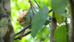 Endangered Parson's Chameleon eating a cicada in Madagascar. Stock Footage