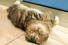 Image of cute grey cat with yellow eyes lying on the floor and looking at camera Stock Photos