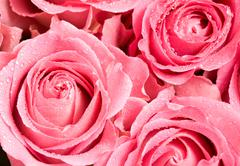 macro shot of blooming pink roses with water drops on their petals - stock photo
