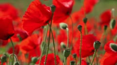 Poppies (Papaver rhoeas) Focus-Pull. Stock Footage