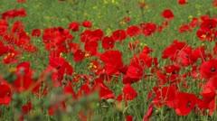 Poppies (Papaver rhoeas) .Long shot.Pan. Stock Footage