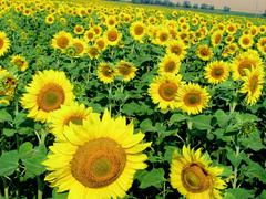Photo of ripening sunflowers growing on agricultural field at summer Stock Photos