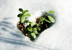 Image of early sprout appearing from melting snowcover in spring Stock Photos
