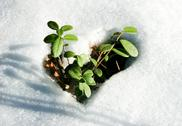 Stock Photo of image of early sprout appearing from melting snowcover in spring