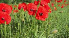Poppies (Papaver rhoeas) Pan Stock Footage
