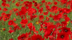 Poppies (Papaver rhoeas) long shot Stock Footage