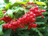 Stock Photo of clusters of a red ripe guelder-rose