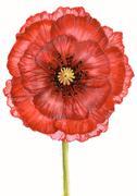 Stock Illustration of red poppy