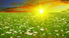 chamomile flowers - stock footage