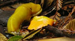 Banana Slug 03 Eating Orange Redwood Forest California Stock Footage