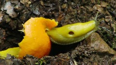 Banana Slug 04 Eating Orange Redwood Forest California Stock Footage
