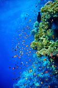 coral fish  blue water. - stock photo