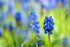 Grape hyacinth Stock Photos
