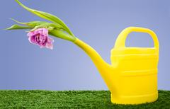 image of watering can with mauve gladiolus on green grass in garden - stock photo