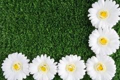 background of white chrysanthemums on grassy land - stock photo