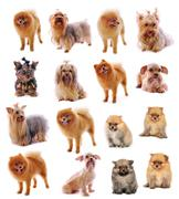 Stock Illustration of yorkshire terrier , pomeranian spitz  on white background