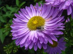 The flower of blue beautiful aster Stock Photos