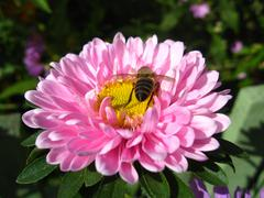 a little bee on the pink beautiful aster - stock photo