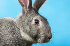 image of head of cute grey rabbit over blue background - stock photo