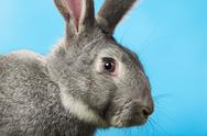 Stock Photo of image of head of cute grey rabbit over blue background