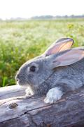 image of cautious grey bunny lying on dry tree trunk outdoor - stock photo