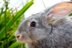 image of cautious grey bunny outdoor - stock photo
