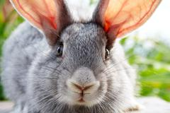image of cautious grey bunny muzzle looking at camera - stock photo