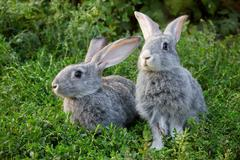 image of two grey rabbits in green grass outdoor - stock photo