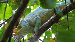 Endangered male Parson's Chameleon in Madagascar. - stock footage