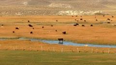 Cows 03 Hot Creek Sierra Nevada Mts Stock Footage
