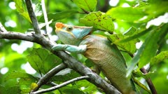 Endangered male Parson's Chameleon in Madagascar. Stock Footage