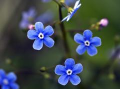 flower of a blue forget-me-not macro - stock photo