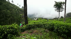 Women gather tea Stock Footage