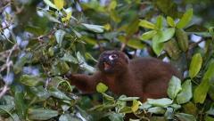 Red-bellied Lemur feeding in Madagascar. Stock Footage