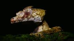 Satanic Leaf-tail Gecko in Madagascar. - stock footage