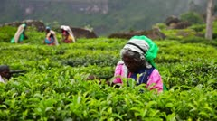Stock Video Footage of Women gather tea