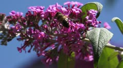 Bee on a pink flower #3 Stock Footage