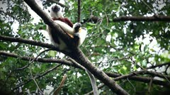 Endangered Coquerel's Sifaka Lemur in Madagascar. Stock Footage