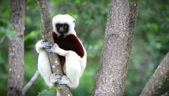 Endangered Coquerel's Sifaka Lemur looks and jumps in Madagascar. Stock Footage
