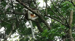 Endangered Coquerel's Sifaka Lemur leaps from a tree in Madagascar. Stock Footage