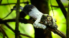 Mossy Leaf-tail Gecko in Madagascar. Stock Footage