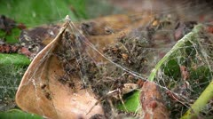 Mother spider and her babies gathered in the web in Ranomafana, Madagascar. Stock Footage