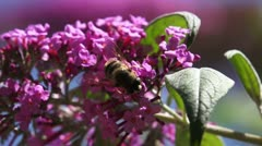 Bee on a pink flower #5 Stock Footage