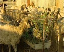 Goats eating medium wide Cyprus 16:9 PAL Stock Footage